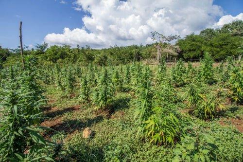 farm bill, CBD, Hemp, cbd and marijuana, marijuana