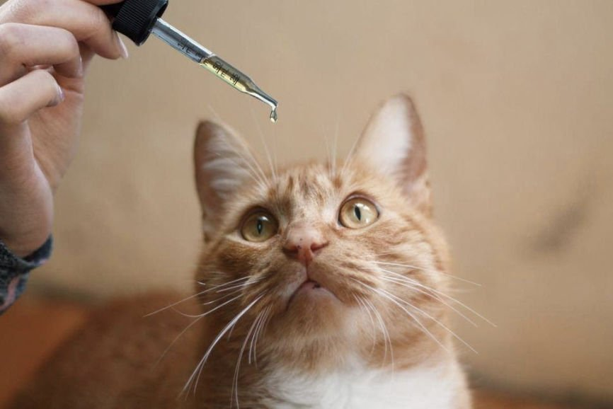 CBD Oil for Your Cat, Is CBD Oil Safe for Your Cat, Can Cannabidiol Make Your Cat High, Precaution for Using CBD Oil for Your Cat, Using CBD Oil for Your Cat