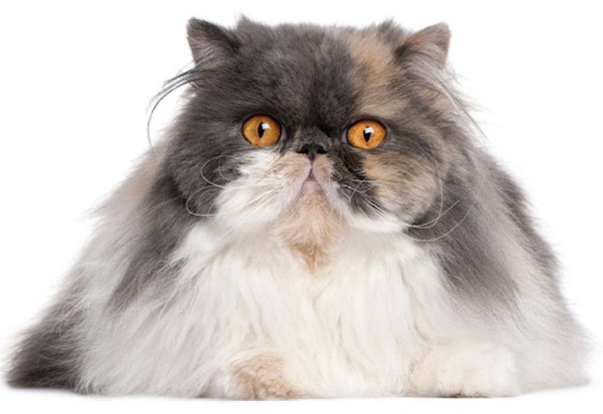 Long hair cats, Long haired cats
