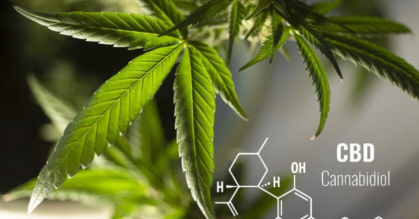 Marijuana leaf, CBD
