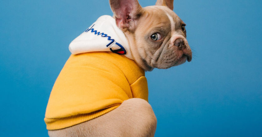 Dog in a sweater, Pain management for pets