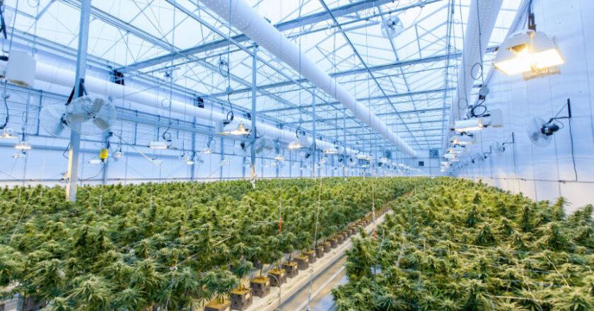 Marijuana strains in a grow house