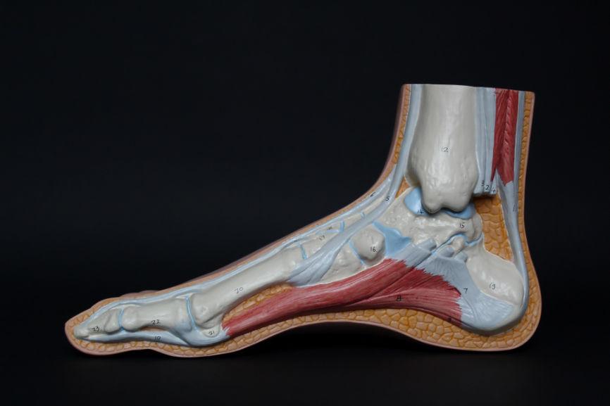 Medical model of a human foot