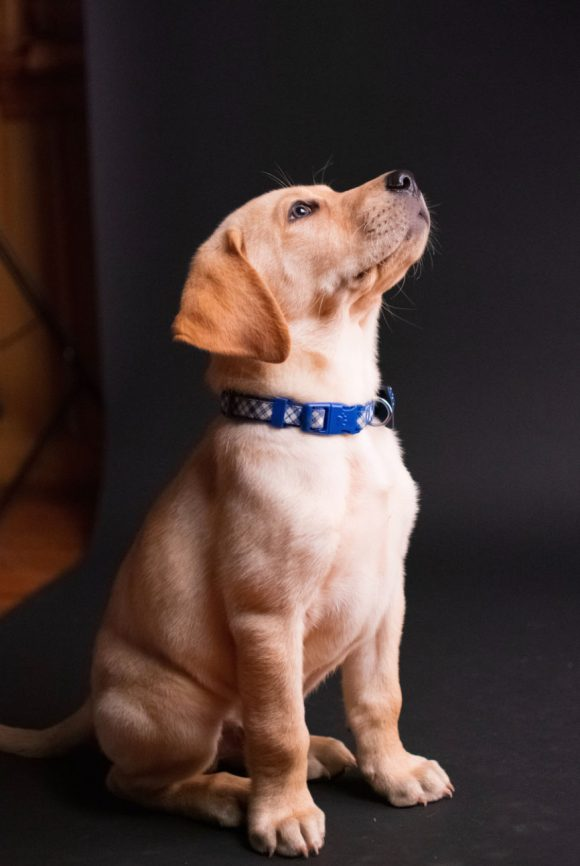Young dog at attention, Dog Training