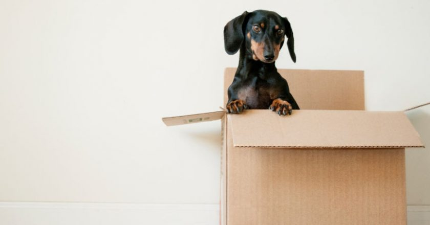 Dog in moving box