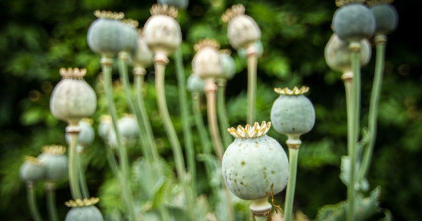 Poppy, Opium, Heroin